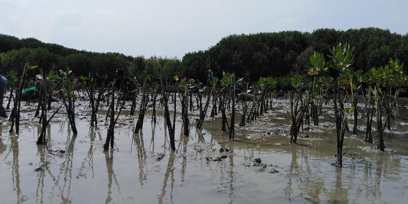 Ecolify.org Projek Lokasi Pesisir Bedono, Demak