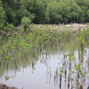 hasil penanaman dari komunitas yang bertujuan untuk menciptakan ekosistem mangrove yang lebih asri serta sebagai penahan abrasi