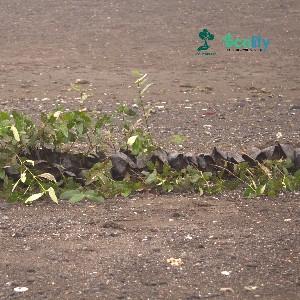 bibit-bibit tersebut akan ditanam di kawasan pantai berigheen yang nantinya apabila hidup dan tumbuh akan menjadi benteng utama untuk menahan abrasi di pantai tersebut