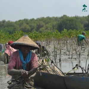 pasijah atau yang akrab disapa mak jah ini sudah melakukan penanaman sejak tahun 2005 silam, saat orang-orang sudah tidak perduli lagi dengan bedono, mak jah dan keluarga mulai melakukan penanaman mangrove hingga saat ini